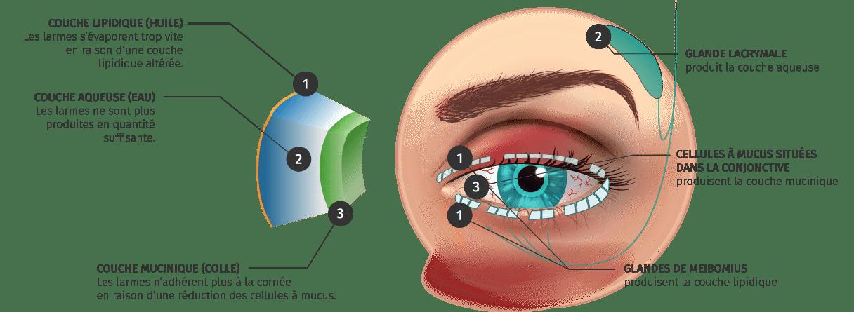 Explication d'un oeil sain